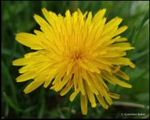 common dandelion Taraxacum officinale-001