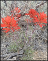 indian paintbrush castilleja chromosa