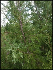 Rocky Mountain juniper-001